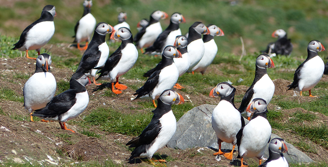 """Puffins return to Farne Islands at """"full capacity"""" for breeding"""
