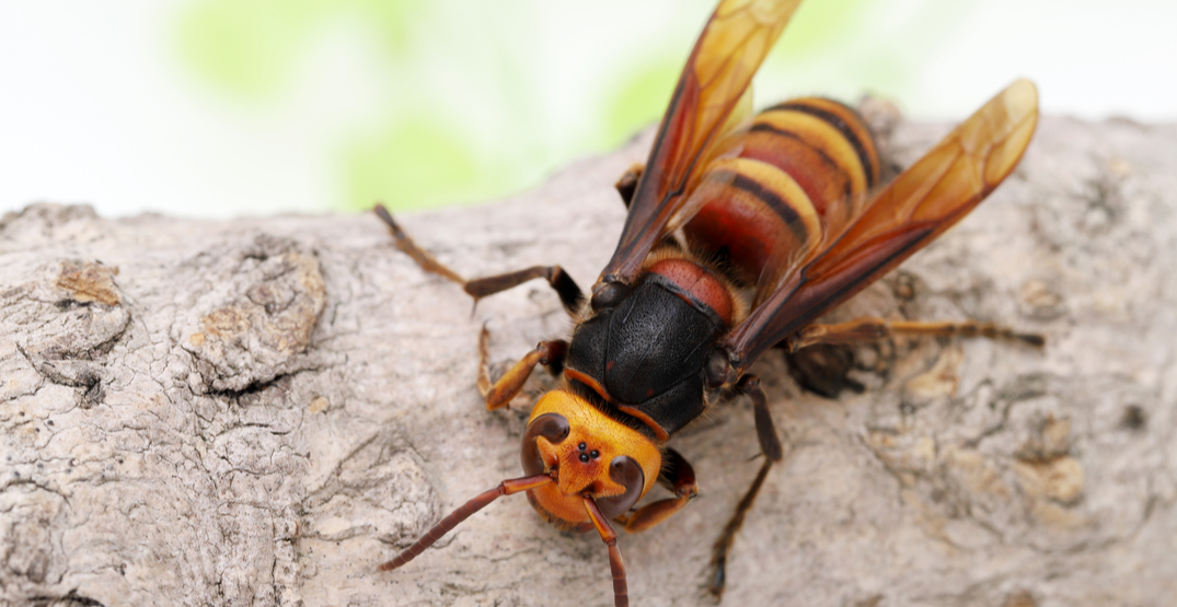 A Murder Hornet has been trapped in Washington State for the first time