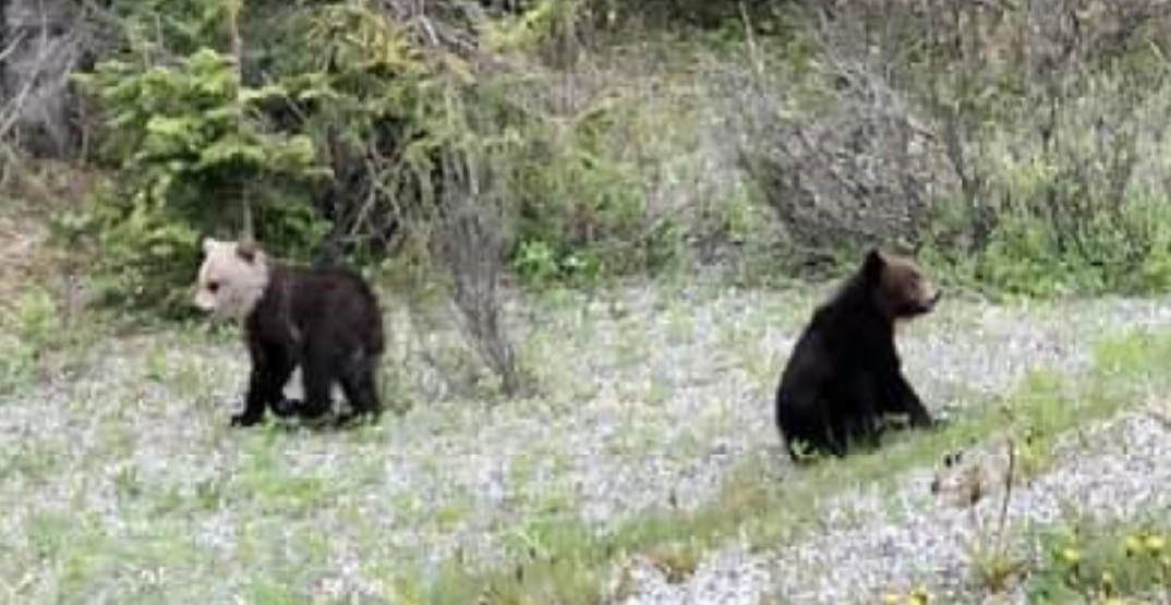 White-headed grizzly cub spotted in Banff National Park