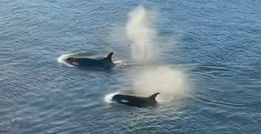 Lucky kayaker has magical encounter with orcas in West Vancouver (VIDEO)