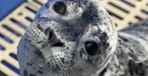 """""""Sealy Dan"""" is back in the wild and his release was adorable (VIDEO) 