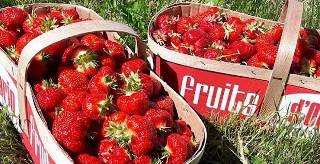 The must-visit farms for strawberry picking near Toronto right now