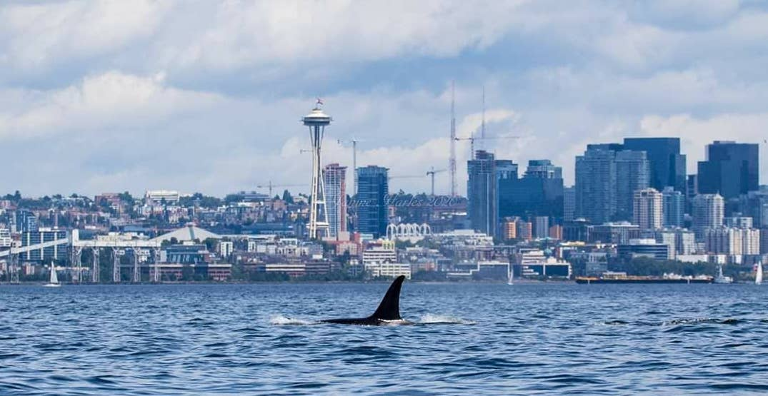 A pod of orca whales was spotted near Seattle (PHOTOS)