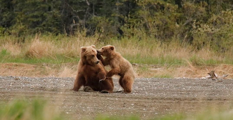 Watch Alaskan brown bears hunt salmon via livestream (VIDEO)