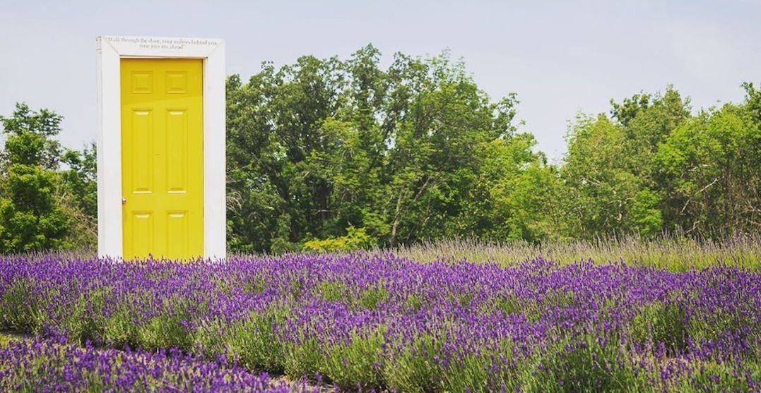Here's how you can visit a picturesque lavender farm this summer