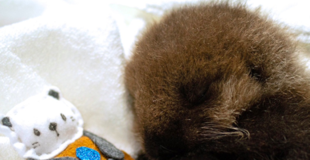 Adorable orphaned sea otter pup being cared for by the Marine Mammal Rescue Centre