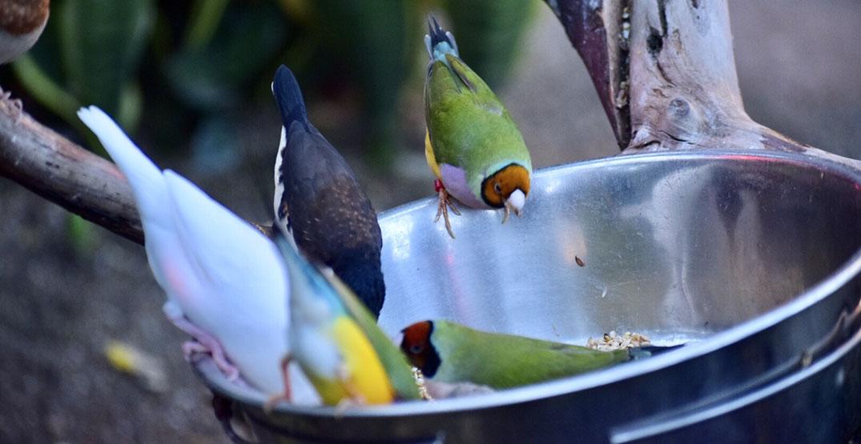 bloedel bird bowl