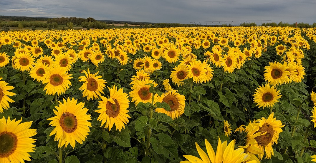 Bowden SunMaze hoping to reopen this August during full bloom
