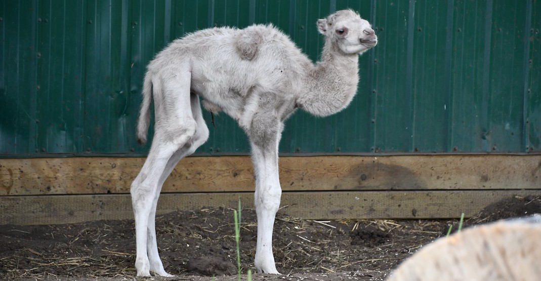 Edmonton Valley Zoo is hosting a sex reveal for a baby camel