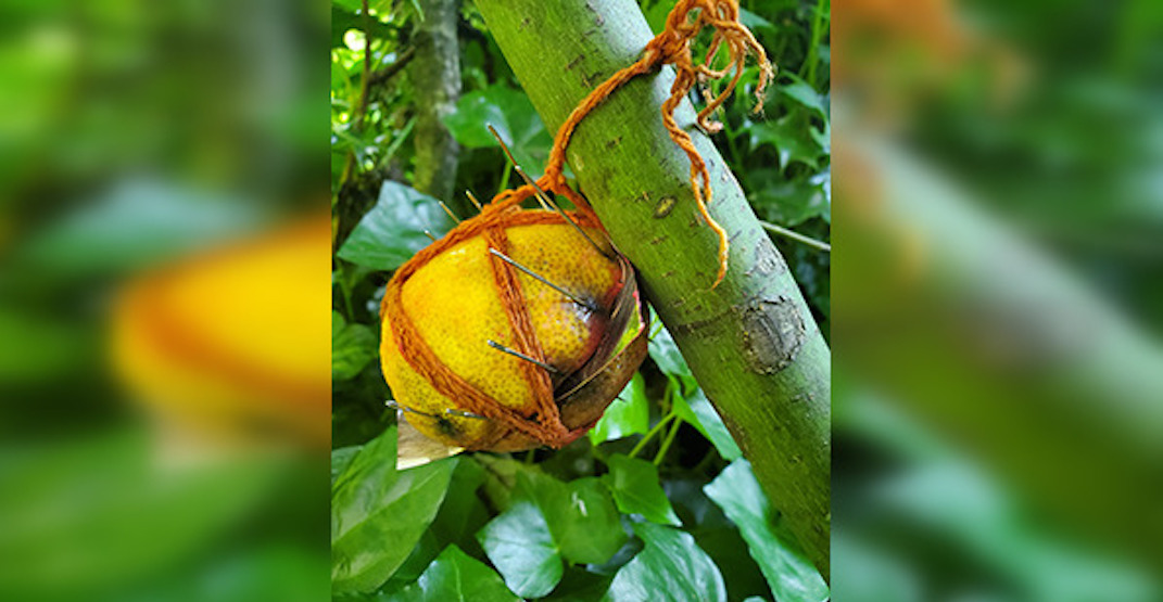 Lemons filled with needles found near trails in Metro Vancouver