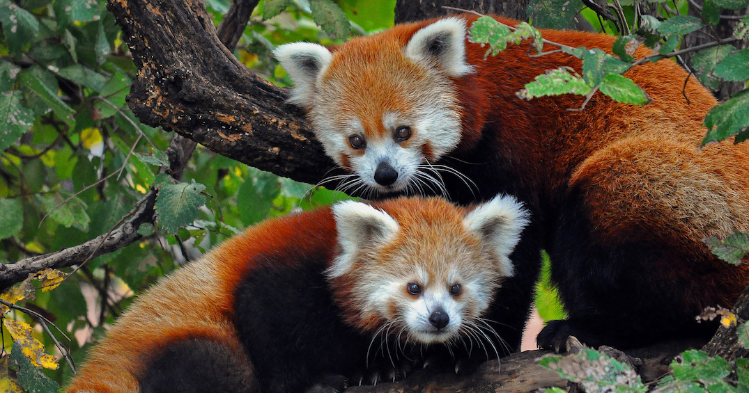 Endangered red panda gives birth to two cubs at Toronto Zoo