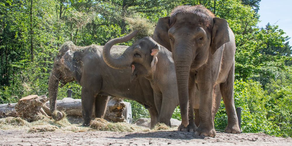Watch Elephants at the Oregon Zoo take a dip to beat the heat (VIDEO)