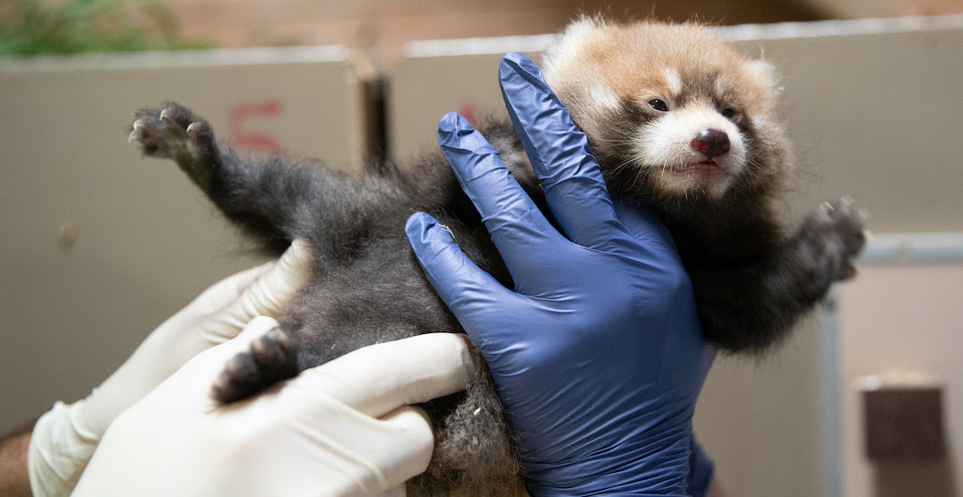 The Woodland Park Zoo wants you to name their baby red pandas