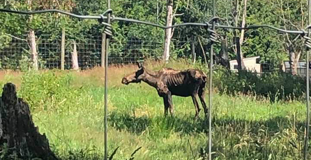 Emaciated moose prompts BC SPCA to investigate Vancouver zoo