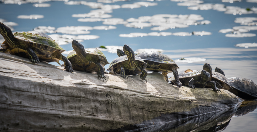 Nearly 30 endangered turtles to be released into Washington's wilderness