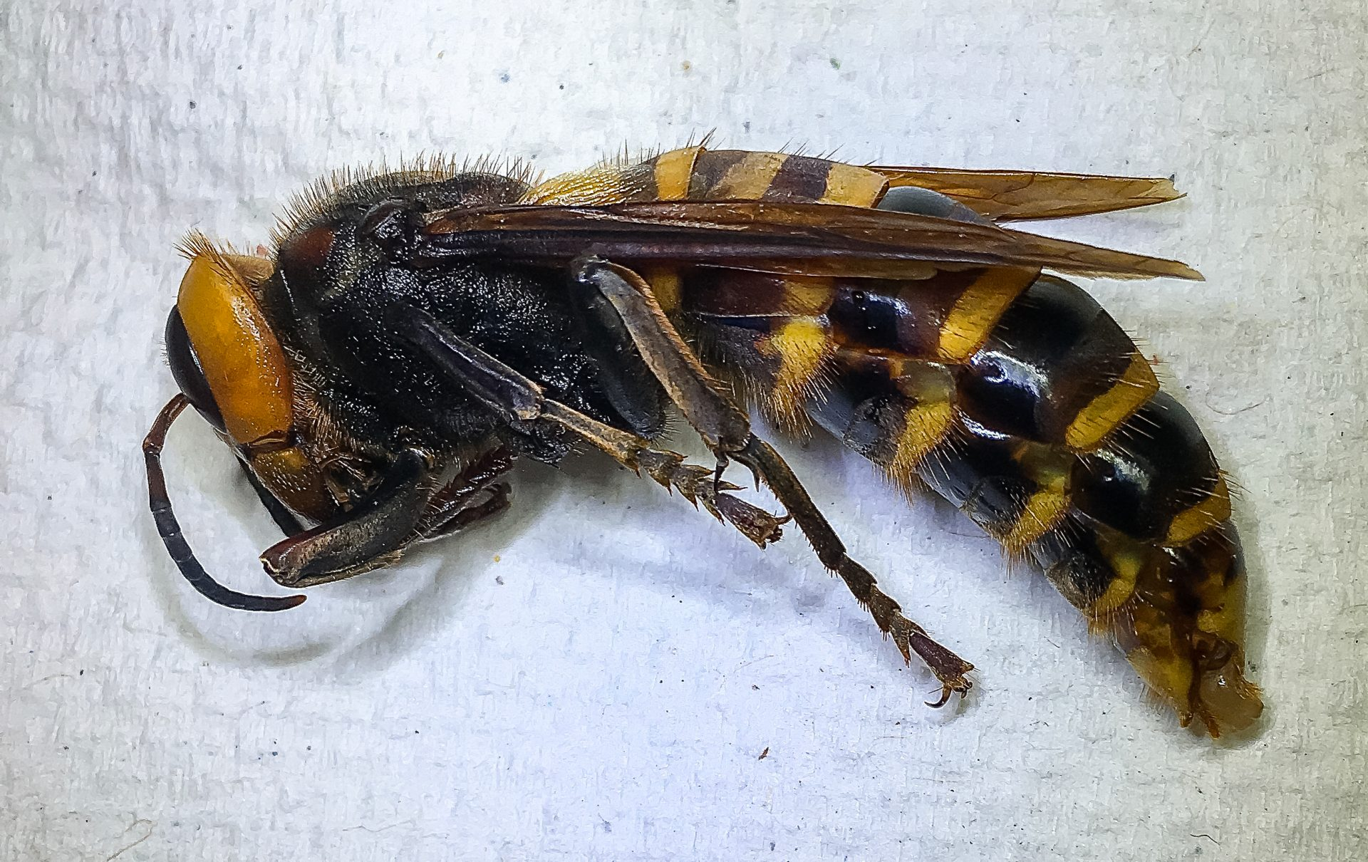 murder hornet washington