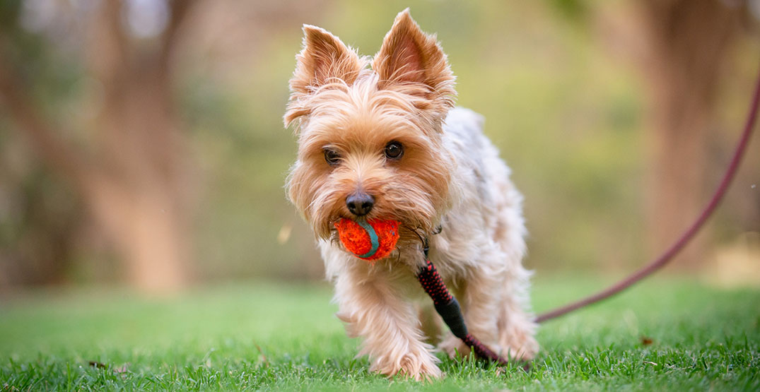 Petition calls for separate play areas for small dogs in Vancouver parks