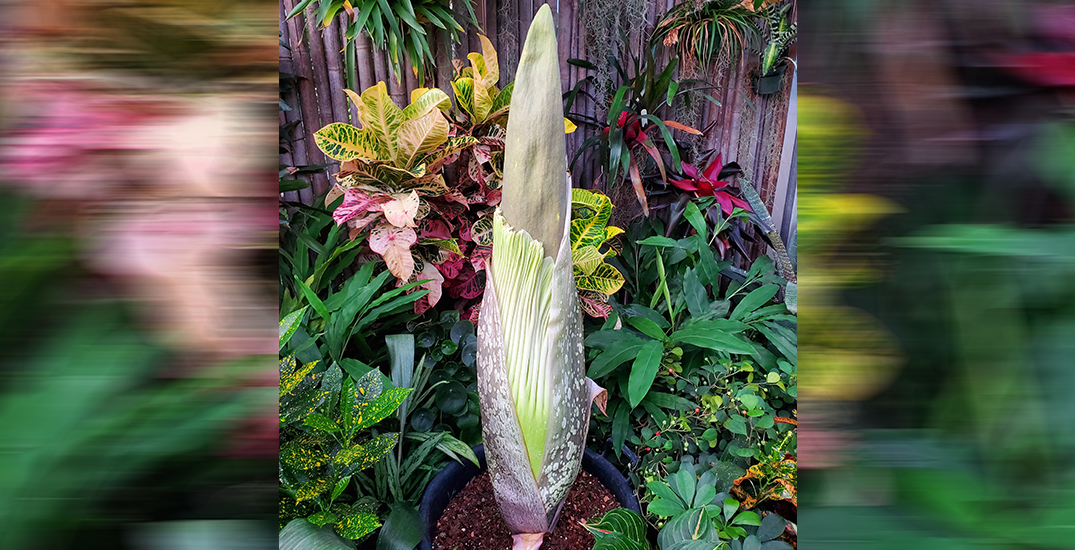 A rare and smelly giant flower is about to bloom in Toronto