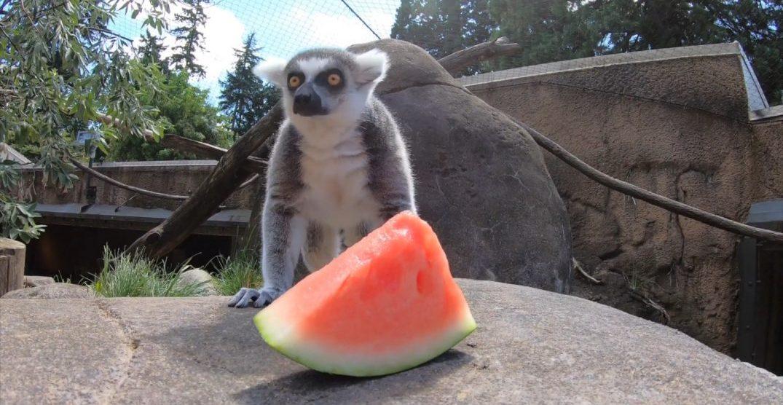 Watch animals from the Oregon Zoo enjoying watermelon (VIDEO)