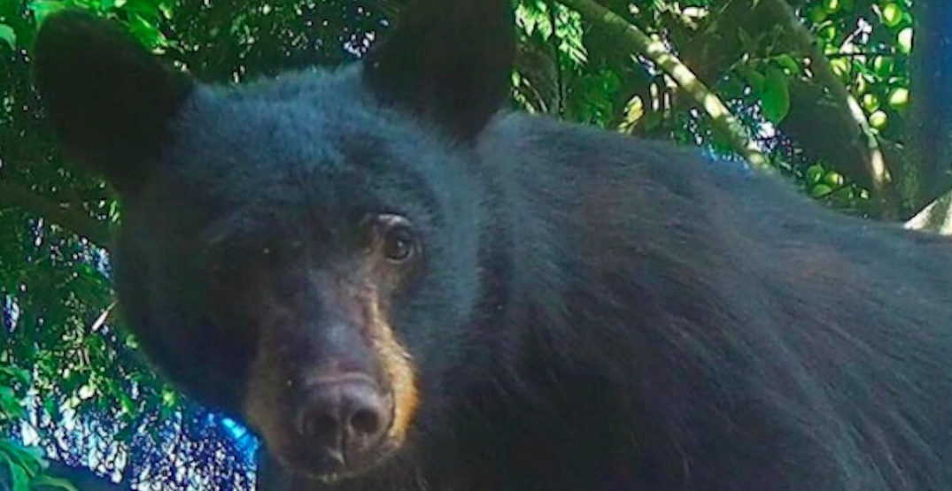 Bear killed in North Vancouver after becoming habituated to human food