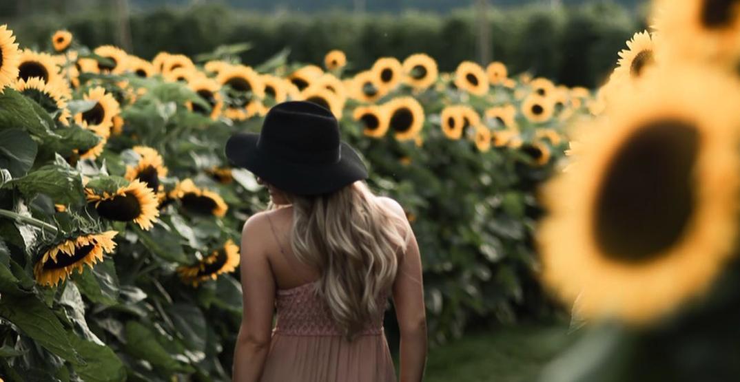 Fraser Valley's beloved Chilliwack Sunflower Experience returns this August
