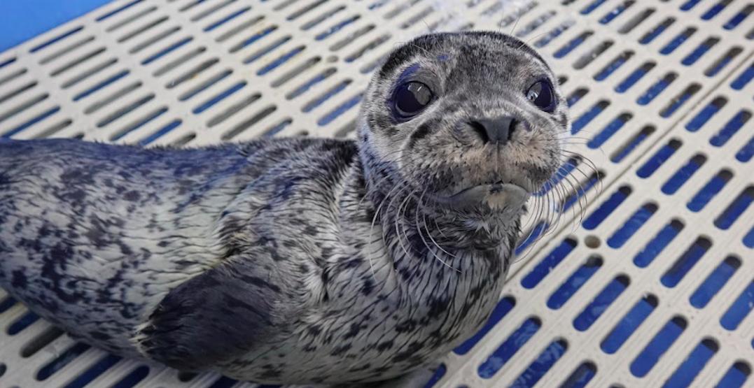 Vancouver Aquarium names latest seal rescue in honour Dr. Bonnie Henry