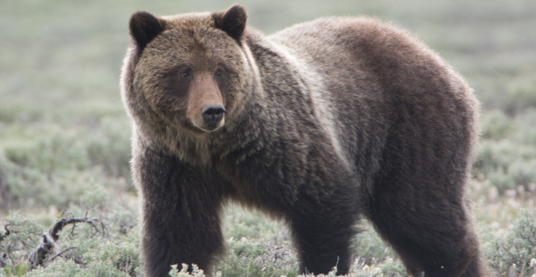 Man attacked by grizzly bear while mountain biking in BC Interior