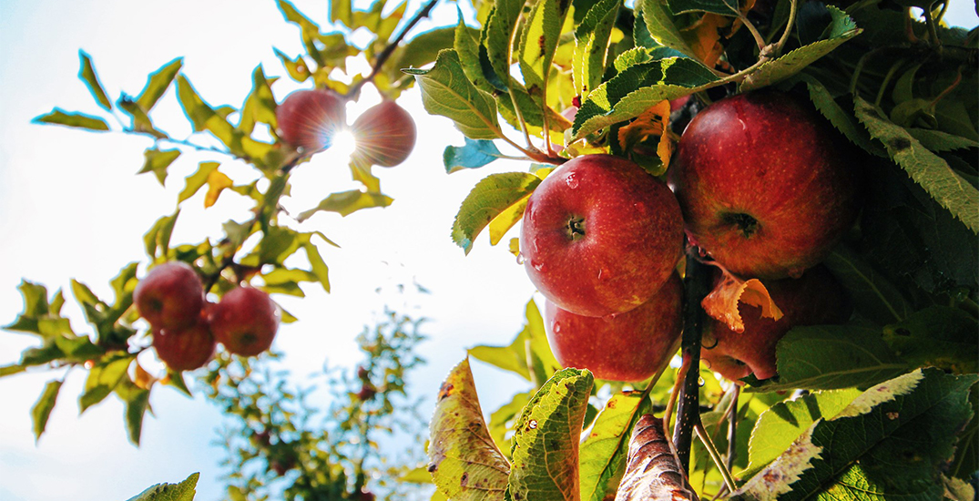 These are the places to go apple picking near Toronto this fall (MAP)