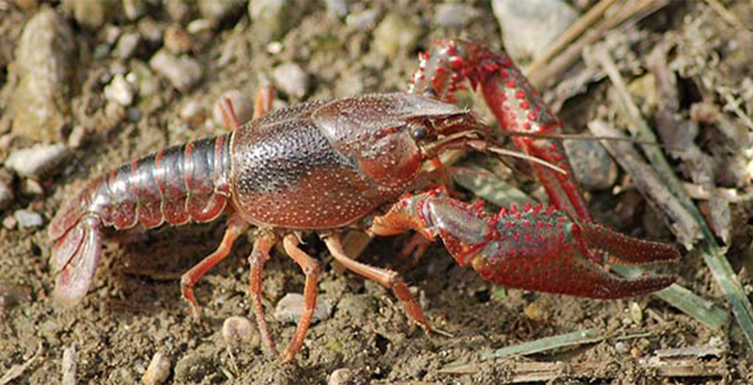 Stop removing crayfish from the Rouge grounds: Parks Canada