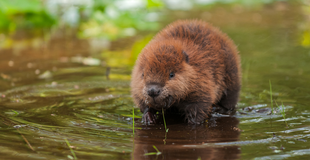 """Watch the adorable Oregon Zoo """"branch managers"""" build a dam (VIDEO)"""