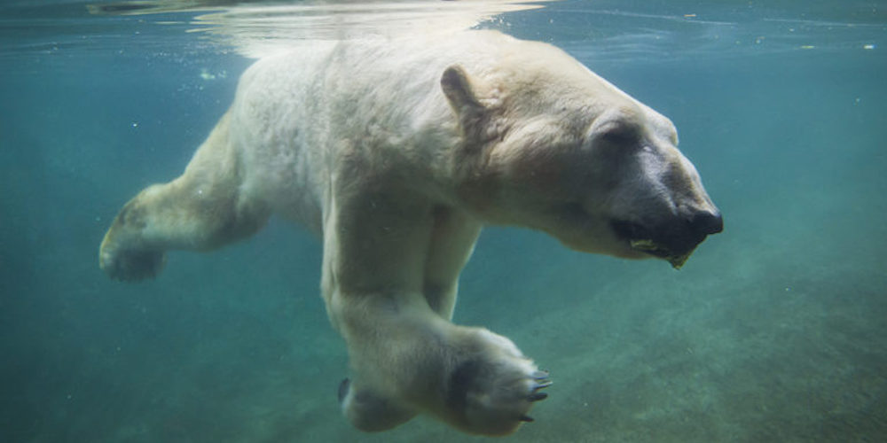 The world's oldest male polar bear died in a Tacoma Zoo yesterday