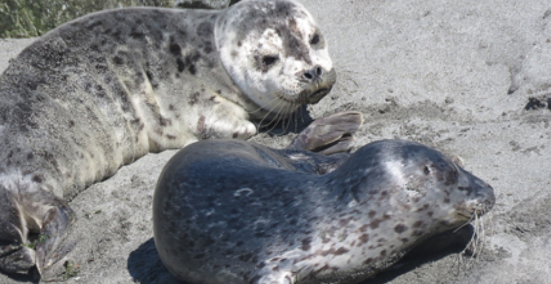 West Seattle harbor seals relocated after harassment from humans