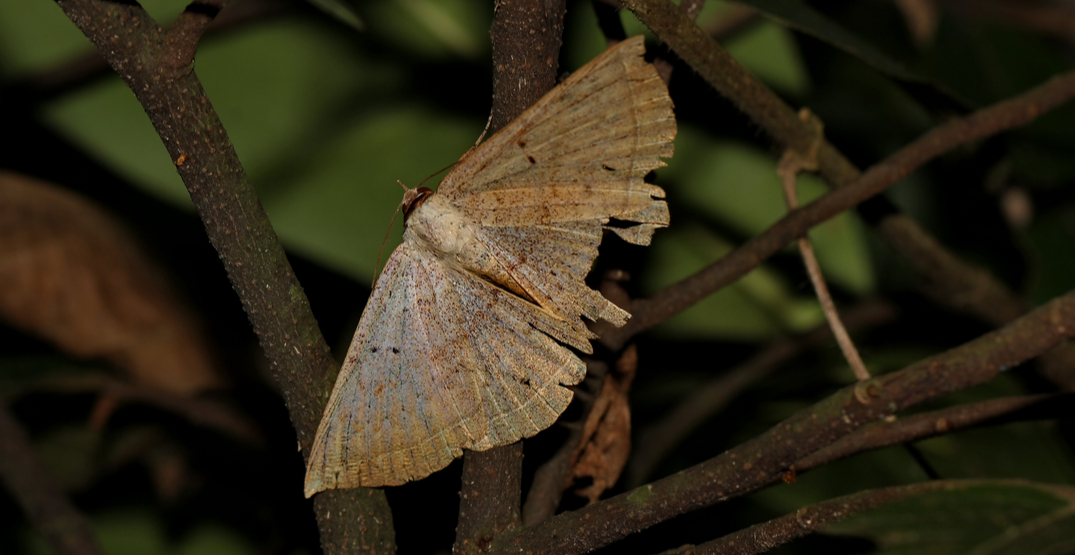 Here's why moths are taking over Metro Vancouver