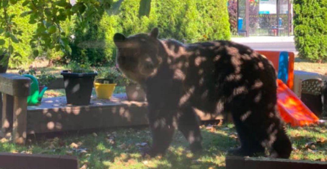 Grizzly bear captured in Squamish residential neighbourhood