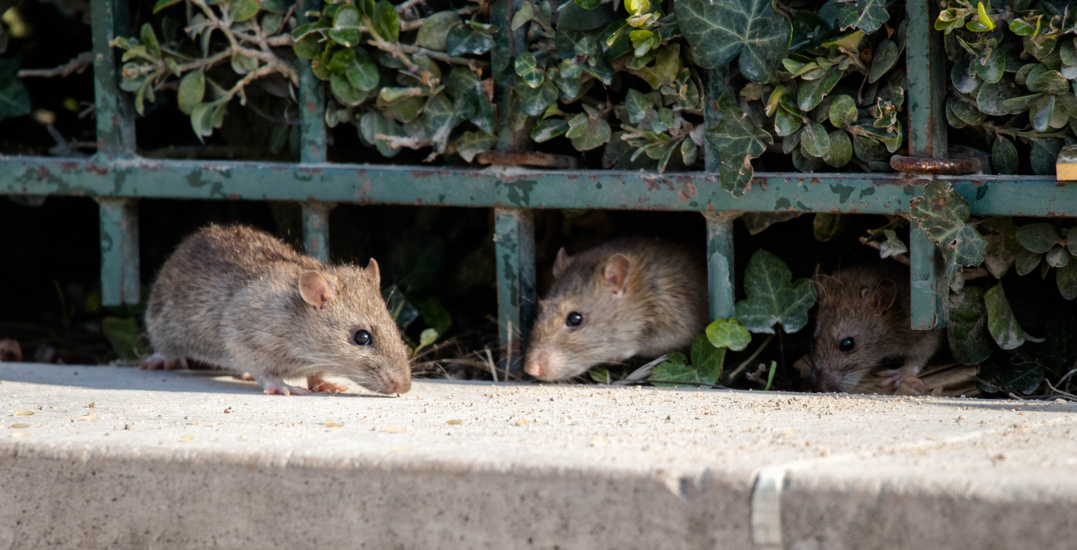 """Toronto comes in first place as the """"rattiest city"""" in Ontario"""