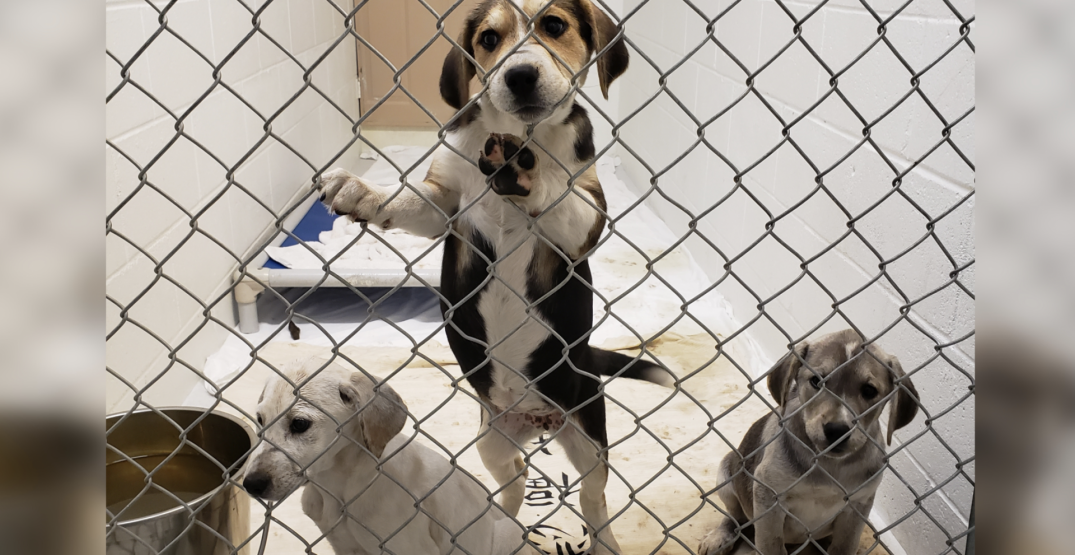 97 neglected animals seized from BC property: SPCA