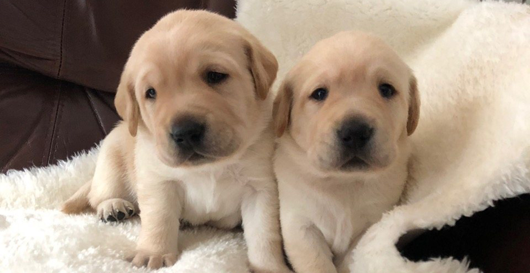 Adorable guide dog puppies named after Dr. Bonnie Henry