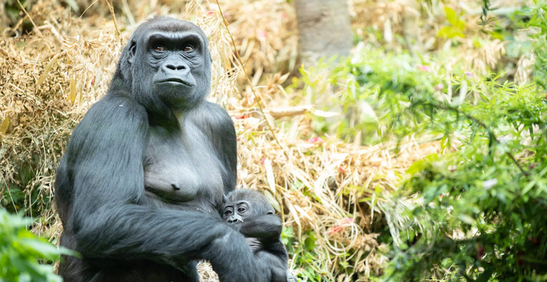 The Woodland Park Zoo is expecting a new baby gorilla this spring