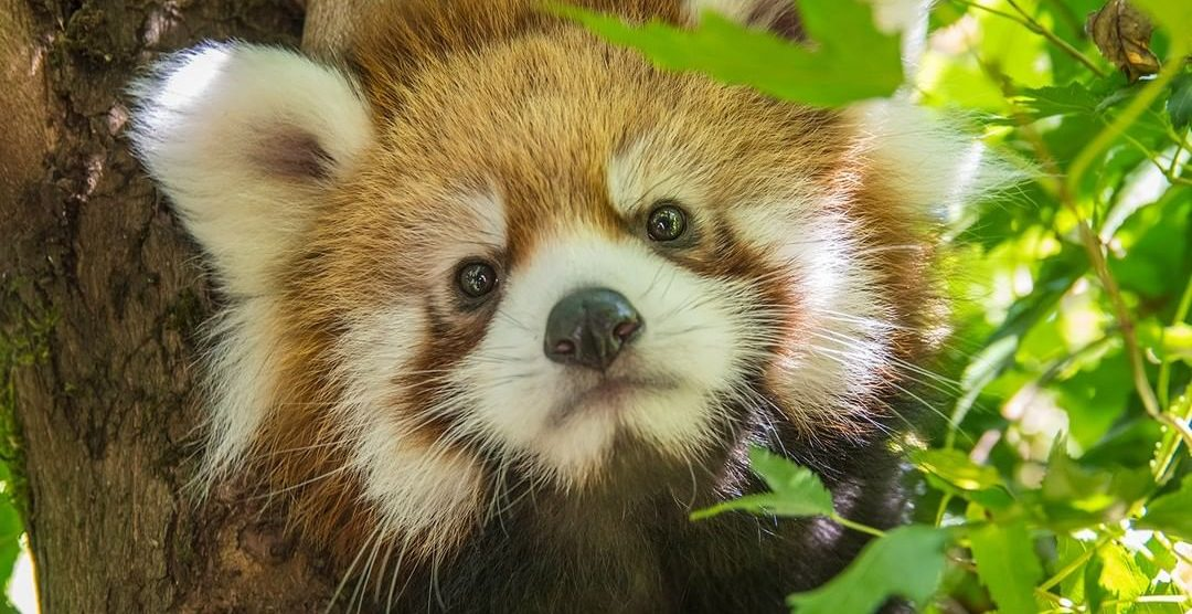 Oregon Zoo has named their baby Red Panda (VIDEO)