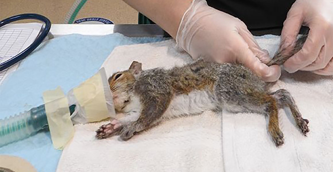 BC SPCA rescues five baby squirrels whose tails got stuck together