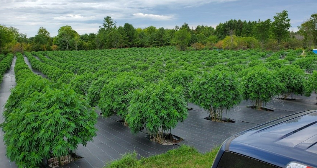 Ontario police seize over 122,000 illegal cannabis plants in less than four months