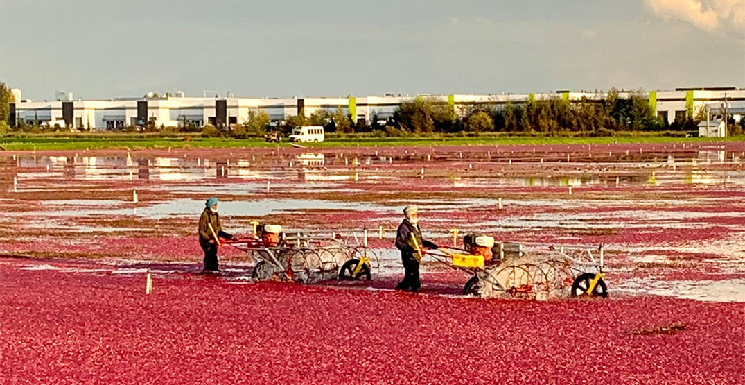 cranberry harvesters