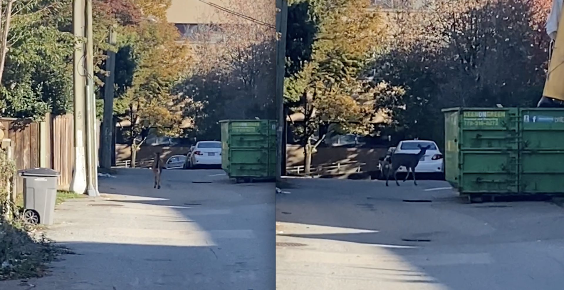 A deer was spotted wandering around Mount Pleasant today (VIDEO)
