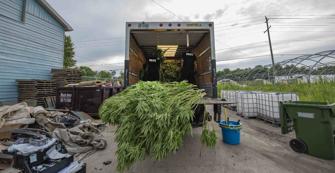 $150M of weed, 3 kangaroos, 2 zebras seized at illegal grow-op near Toronto