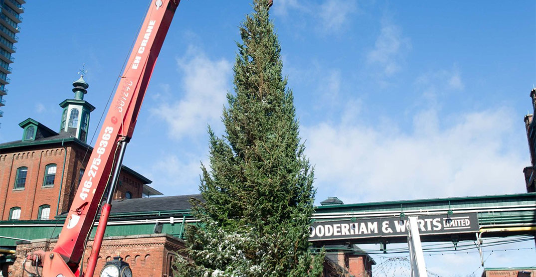 Massive Christmas tree arrives at Toronto's Distillery District