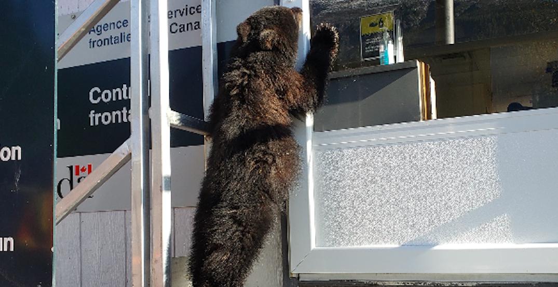 Bear cub attempts to cross US/Canada border
