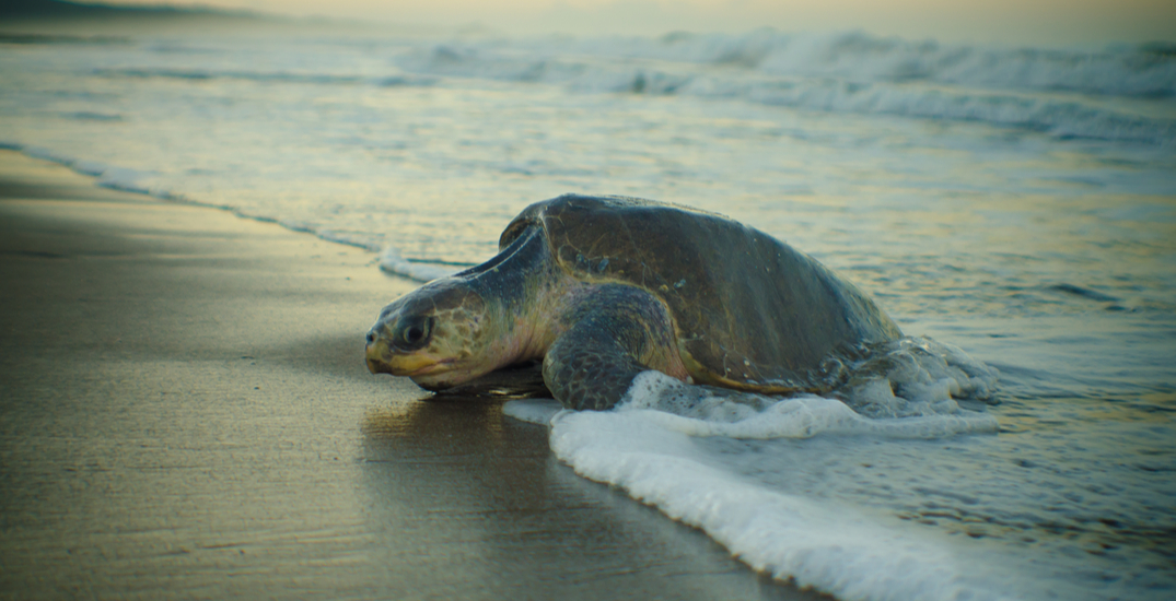 Two sea turtles found stranded on a West Coast beach