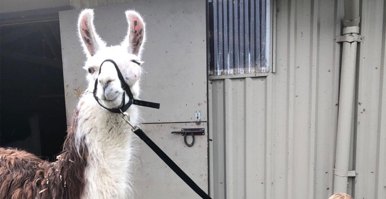 Fraser Valley farm raising money to save neglected Llama