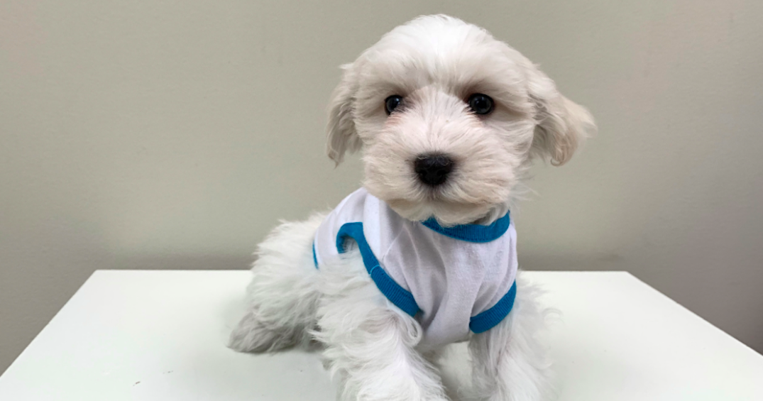Suspects sought following two separate alleged puppy thefts in the GTA