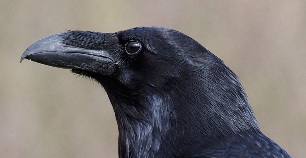 Montreal zoo fears for safety of allegedly stolen raven